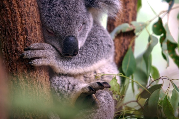 Lost Pine Koala Sanctuary